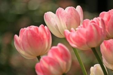 tulips-1134103_640